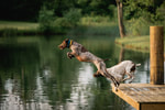 Locked On-Point German Shorthaired Pointers